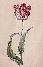 Tulpenmanie Tulpenzwiebel Tulpe Semper Augustus